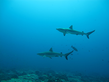 Grey reef sharks form social groups that last over years