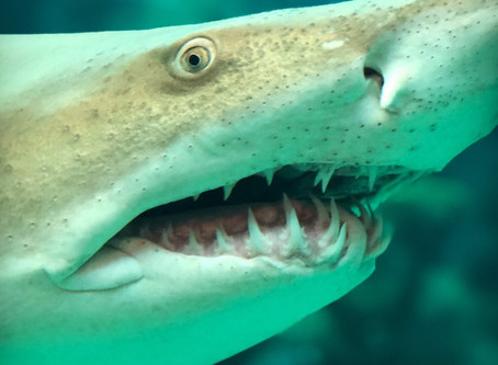 Cannibal sharks