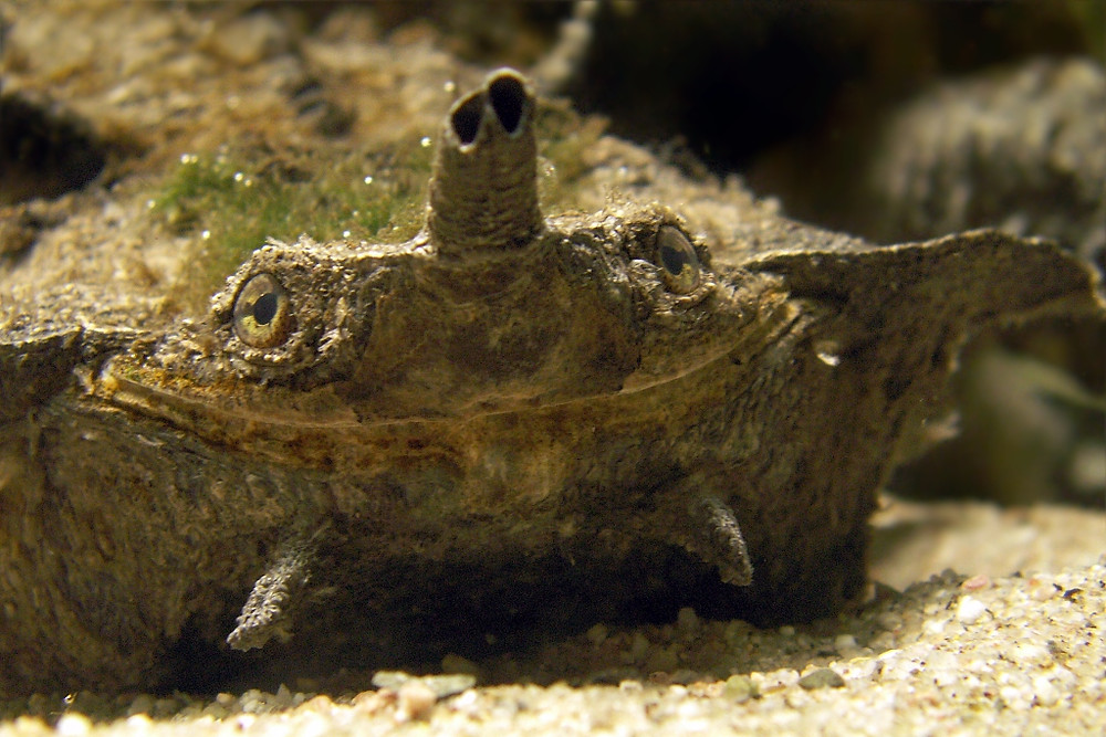 Face of a matamata turtle that appears to be smiling