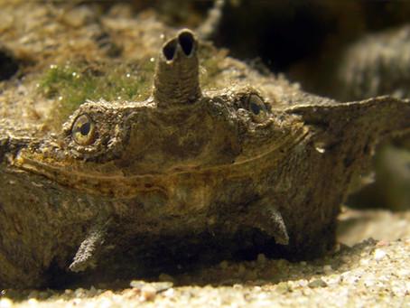 Saving the weird and wonderful matamata turtle