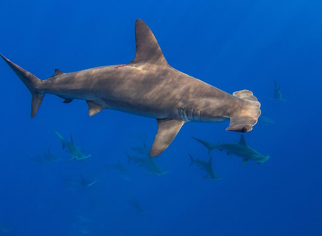 DNA zip-coding: tracing scalloped hammerhead fins to region of origin