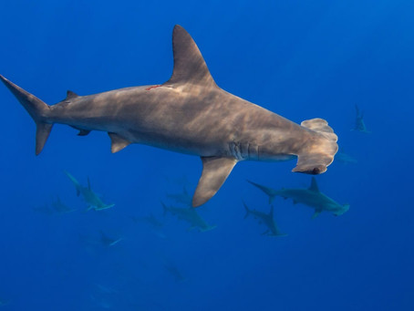 DNA zip-coding: tracing scalloped hammerhead fins to region of origin