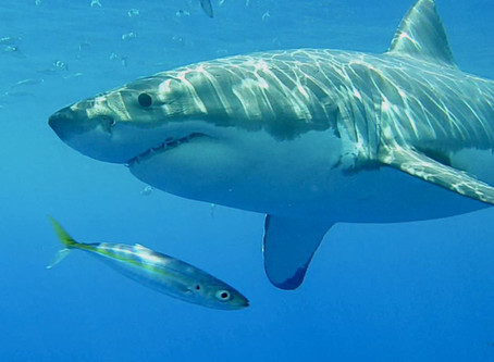 Dr. Papastamatiou and Sarah Luongo to appear on Shark Week