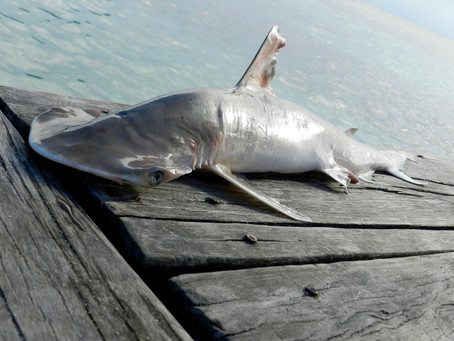 Two new shark species