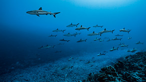 Sharks surf the slope