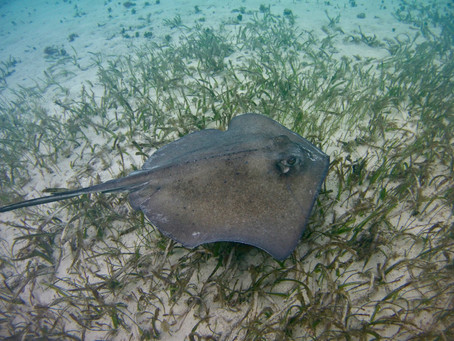 Belize to establish world's first ray sanctuary