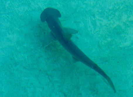 Bonnethead sharks can digest seagrass