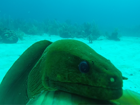 Moray eels abound on reefs closer to humans