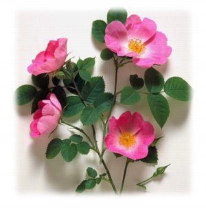 The Wild Rose - something so magical !