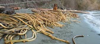 Adding Kelp to your garden !
