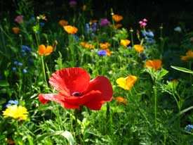 Turning your lawn into a sustainable wild flower field ??????