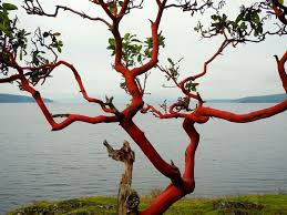 Arbutus tree ( Pacific Madrone Evergreen Tree)