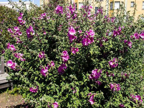Lavatera is blooming all summer !