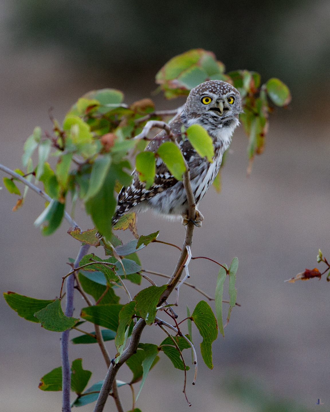Pearl Spotted Owl