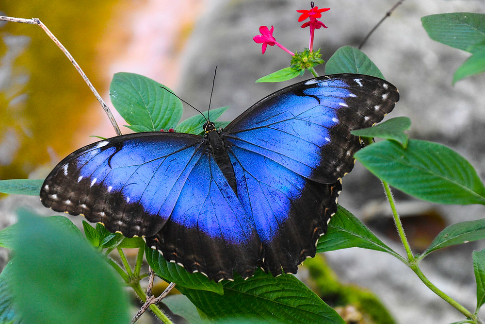 A blue morpho in a Blue Zone