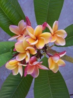 Tropical Flower Essences