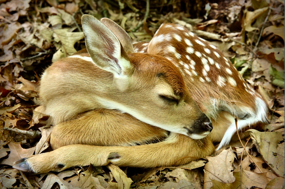 white tail deer fawn, one day old