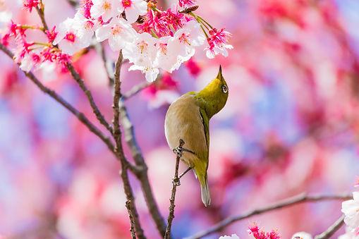 Mejiro_Sakura.jpg
