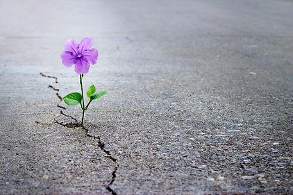 purple-flower-growing-crack-street-soft-