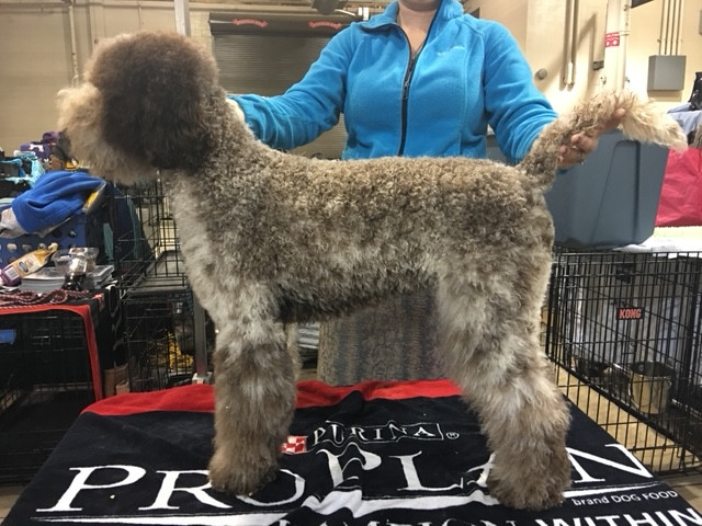 """AKC GrCh Two By Two Night the Lights Went Out, AKC's Youngest GrCh Lagotto, '19 Westminster Select """"aka Reba"""""""