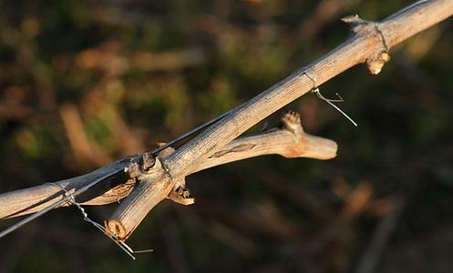 Reglacion de apriete del alambre en  atado de vid