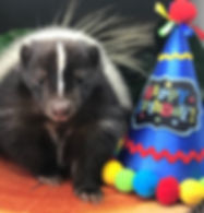Scampi the striped skunk celebrating a birthday party as part of a Wee Critters session