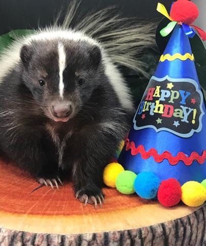 Scampi the skunk celebrates a birthday