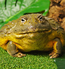 Jeremiah the African bullfrog
