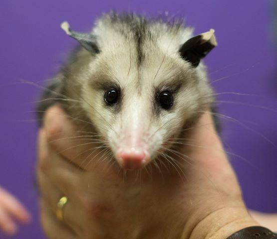 Aggie the opossum