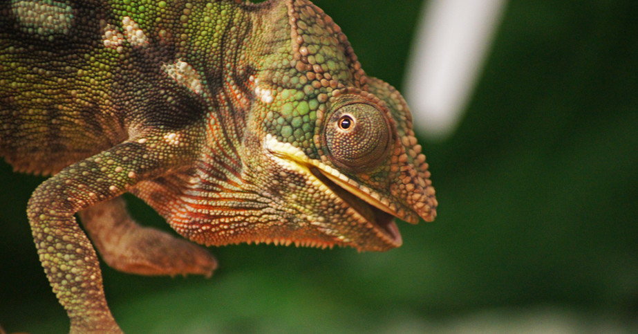 Pascal the panther chameleon