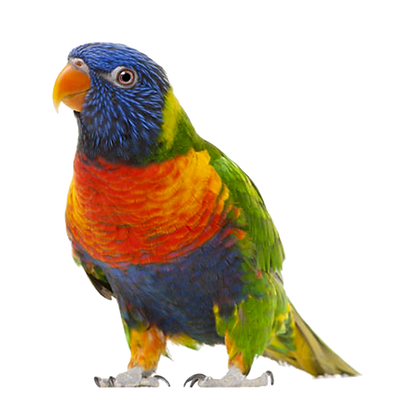 Peanut the rainbow lorikeet