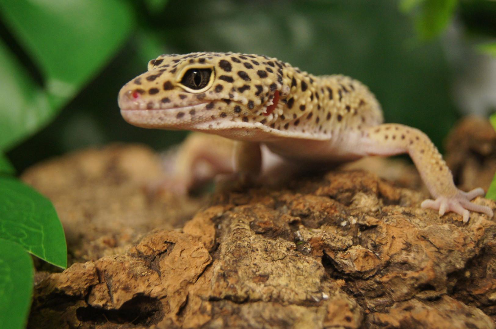 Dotty the leopard gecko