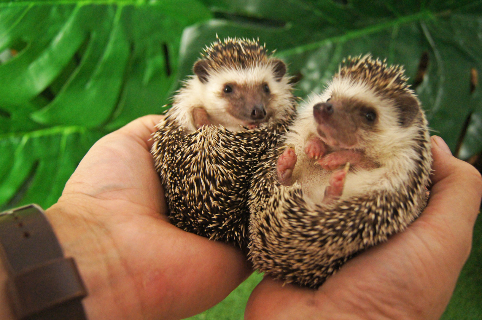 Tiggy and Winkle the African pygmy hedge