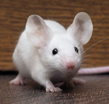 white fancy mouse