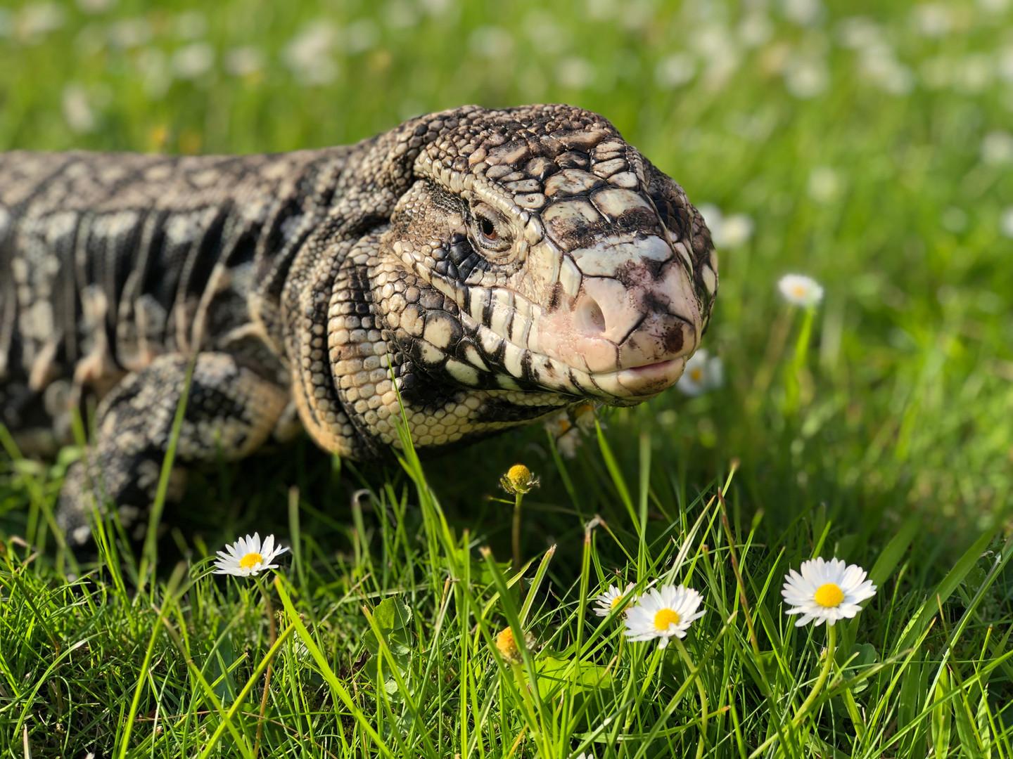 Elliott the Argentine black and white tegu