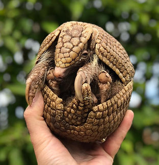 Arthur the three-banded armadillo