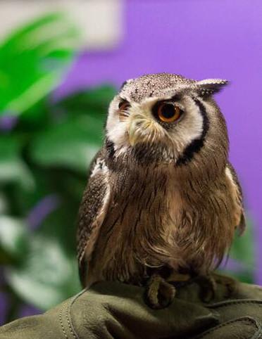 Dobby the white-faced owl