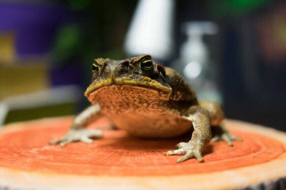 Trevor the cane toad