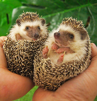 Tiggy and Winkle the African pygmy hedghogs