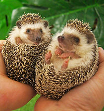 Tiggy and Winkle the African pygmy hedgehog