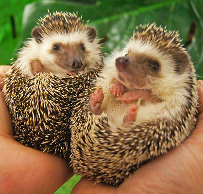 Tiggy and Winkle the African pygmy hedgehogs