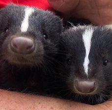 Scampi and Cricket the skunks