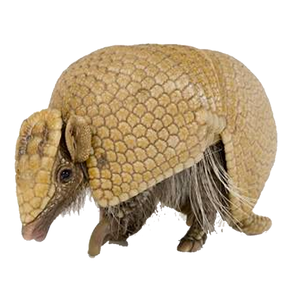 armadilo cut out.png