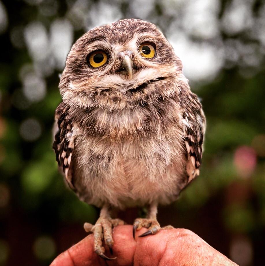 Flitwick the burrowing owl