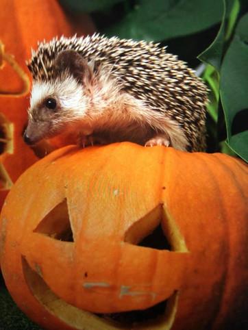 Tiggy enjoying some petrifying pumpkin treats