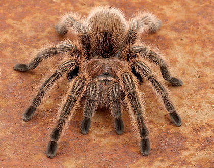 Chile rose tarantula