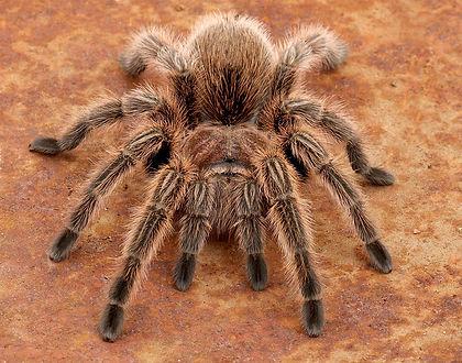 Chile rose tarantula