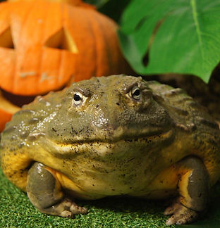 Jeremiah the African bullfrog enjoying a special 'trick or treat' pumpkin