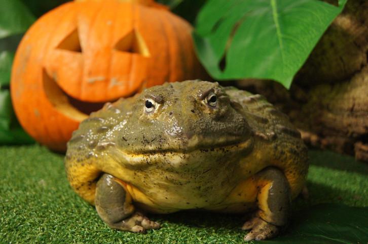 Jeremiah the bullfrog enjoys a 'trick or treat' surprise