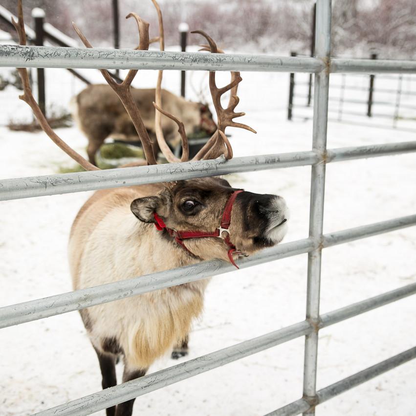 ROTR Reindeer Farm-27